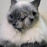 Кот в двумя мордочками